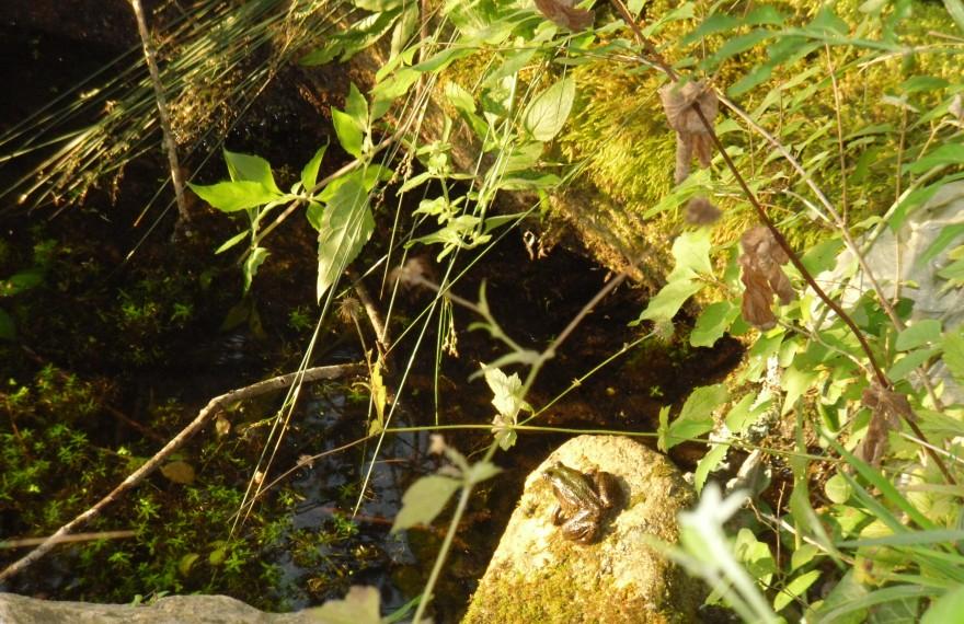 Grenouille mare de Ladoue
